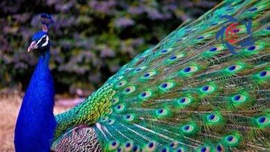"""Photo of صید """"طاووس"""" در پشتبام خانه ای در مجیدیه! + تصاویر"""