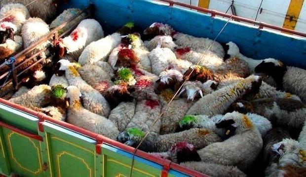 Photo of کشف 72 راس دام قاچاق در عجب شیر