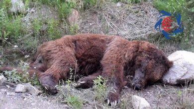 Photo of قاتل خرس در ارومیه دستگیر شد + فیلم