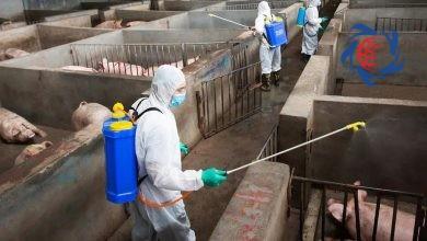 Photo of وحشت جدید در چین پس از فروکش کردن کرونا / شیوع تب خوکی! + جزئیات